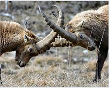Un préfet «médian» dans l'affaire des bouquetins du Bargy, «coincé» entre éleveurs et défenseurs de la faune sauvage