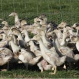 Influenza aviaire : un foyer détecté dans la basse-cour d'un particulier