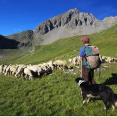 Les éleveurs haut-savoyards partent en guerre contre le loup.